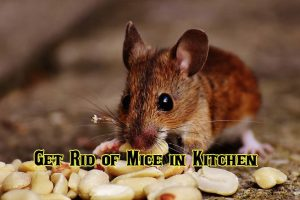 best way to get rid of mice in kitchen